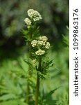 Small photo of White valerian buds - Latin name - Valeriana officinalis