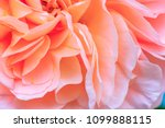 Stock photo beautiful delicate rose flower petals with raindrops close up pale pink color rose bloom var 1099888115