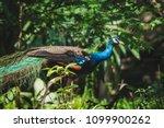 Beautiful Indian Peacock In The ...