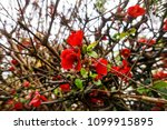 red blossoms entwined with bush ... | Shutterstock . vector #1099915895