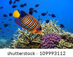 Angel Fish  Pygoplites...