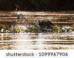 grey heron bird  ardea cinerea  ... | Shutterstock . vector #1099967906
