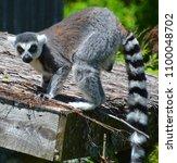the ring tailed lemur  lemur... | Shutterstock . vector #1100048702