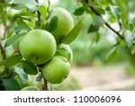 Green Apples On A Branch Ready...