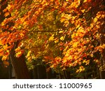 Brilliantly glowing orange maple leaves backlit by the sun - stock photo