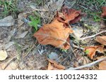 Small photo of Dried Sycamore Leaves