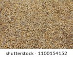 a pile of unmilled rice. rice... | Shutterstock . vector #1100154152