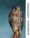 kestrel against blue background | Shutterstock . vector #1100195615