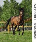 Small photo of arabian horse arab mane kit chestnut madness nature catwalk