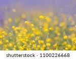 Plenty Of Buttercup Flowers...