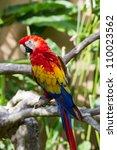 scarlet macaw  ara macao  in... | Shutterstock . vector #110023562