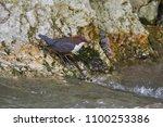 the white throated dipper ... | Shutterstock . vector #1100253386