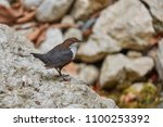 the white throated dipper ... | Shutterstock . vector #1100253392
