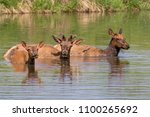 Small photo of A family group of American elk (Cervus canadensis) bathing in a lake during hot summer day, Iowa, USA.