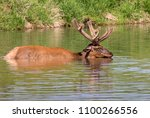 Small photo of Male American elk (Cervus canadensis) bathing in a lake during hot summer day, Iowa, USA.