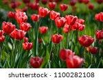 red tulip flowers. tulip buds.... | Shutterstock . vector #1100282108