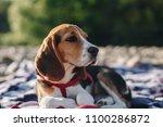 close up little beagle dog... | Shutterstock . vector #1100286872