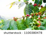 fresh arabica coffee bean on... | Shutterstock . vector #1100380478