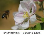 pollination of tree flowers ... | Shutterstock . vector #1100411306