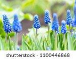 beautiful blue flowers of...   Shutterstock . vector #1100446868