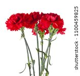 red carnation flowers isolated... | Shutterstock . vector #1100459825