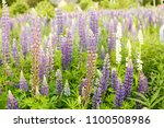 lupine field with pink purple... | Shutterstock . vector #1100508986