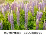 lupine field with pink purple... | Shutterstock . vector #1100508992