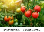 ripe red tomatoes are on the...   Shutterstock . vector #1100533952