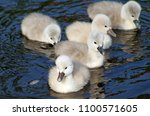 Two Day Old Baby Mute Swans...