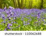 Bluebell Woods In Spring In Uk...
