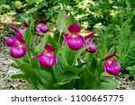 large flowered cypripedium ... | Shutterstock . vector #1100665775