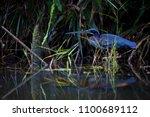 agami heron  agamia agami  very ... | Shutterstock . vector #1100689112
