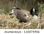 A Canada Goose Gosling Under...