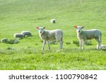 little cute new born lambs on a ... | Shutterstock . vector #1100790842