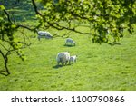 mother sheep with new borm lamb ... | Shutterstock . vector #1100790866