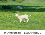 happy little cute new born lamb ... | Shutterstock . vector #1100790872