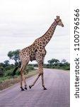 giraffe  giraffa camelopardalis ...   Shutterstock . vector #1100796566