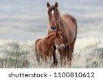 Wild Mustangs Of The West