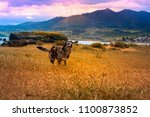 Stock photo crazy dog border collie merle running through in yellow wheat field with beatiful landscape 1100873852