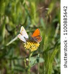 Small photo of Lycaena dispar, a copper butterfly mating and hindering the third butterfly