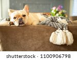 cream color french bulldog...   Shutterstock . vector #1100906798