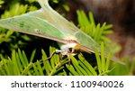 luna moth   close up photograph ... | Shutterstock . vector #1100940026