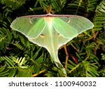 luna moth   close up photograph ... | Shutterstock . vector #1100940032