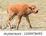Newborn Bison Calf In...