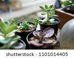 a small cactus in a plastic pot.... | Shutterstock . vector #1101014405