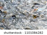 freshwater fish in the river...   Shutterstock . vector #1101086282