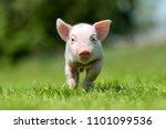 Newborn Piglet On Spring Green...