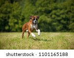 Boxer Dog Running In A Summer...