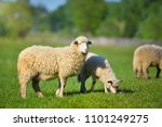 Sheeps in a meadow on green...