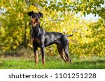 german pinscher dog in a summer ... | Shutterstock . vector #1101251228